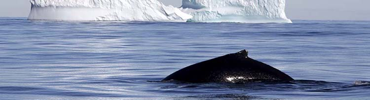 Antarctica-Falklands-South-Georgia-humpback.jpg